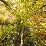 Underneath trees with yellow green leaves
